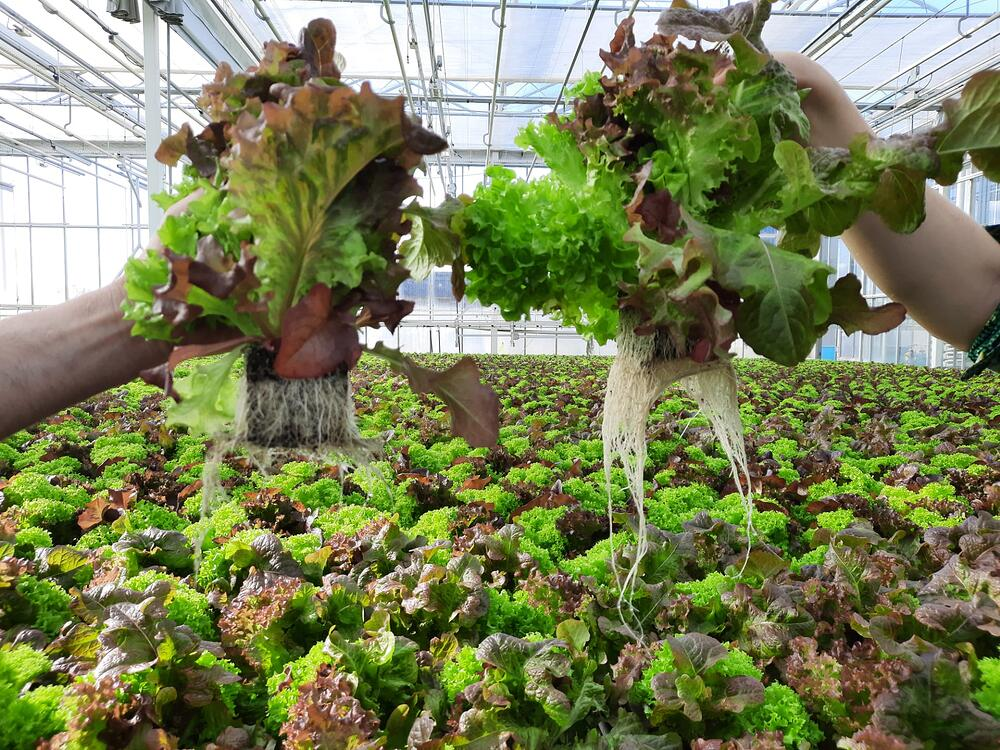 Plants held up to show their roots in a greenhouse with more plants in the background